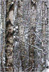 Bild 2 Birken, Ainringer Moor/Berchtesgadener Land  [Foto: Heiko Berner]
