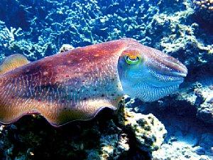 Der Oktopus in tropischen Gewässern wird durch Reste von Tageslicht sowie eine Xenon-Lampe erhellt [Foto:Christian Fischer]