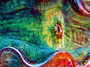 Nah dran im Makro-Modus: Die farbenprächtige Muschel wirkt im Ausschnitt präsenter als in einer Gesamtaufnahme [Foto: ScubaPhotoFactory]