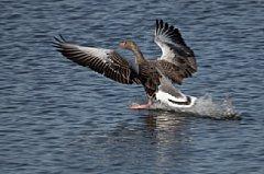Graugans bei der Landung, aufgenommen mit Kardankopf am Ruppersdorfer See [Foto: Ralf Germer]