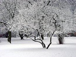 Der Tulpenbaum im Winter [Foto: Günter Hauschild]