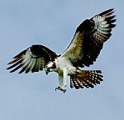 Bild 4: Bild des Seeadlers [Foto:Martin Pohl]