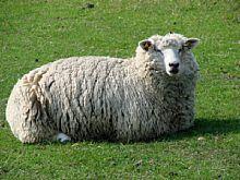Bild 1 Haustiere (Schaf) [Foto: Günter Hauschild]