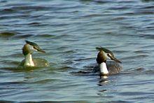 Bild 3 Haubentaucherpaar auf einem Anglergewässer  [Foto: Günter Hauschild]