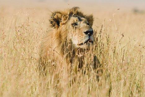 Bild Löwe auf der Lauer, um einen Rivalen zu attackieren, Masai Mara (Nikon D810 und AF-S Nikkor 400 mm 1 : 2,8E FL ED VR, 1/800 Sekunde, F8.0, ISO 400). [Foto: Uwe Skrzypczak]