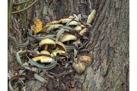 Bild Ungewöhnlicher Standort einer Pilzkolonie, die in einer Astgabel in luftiger Höhe zu finden war. [Foto: Harm-Diercks Gronewold]