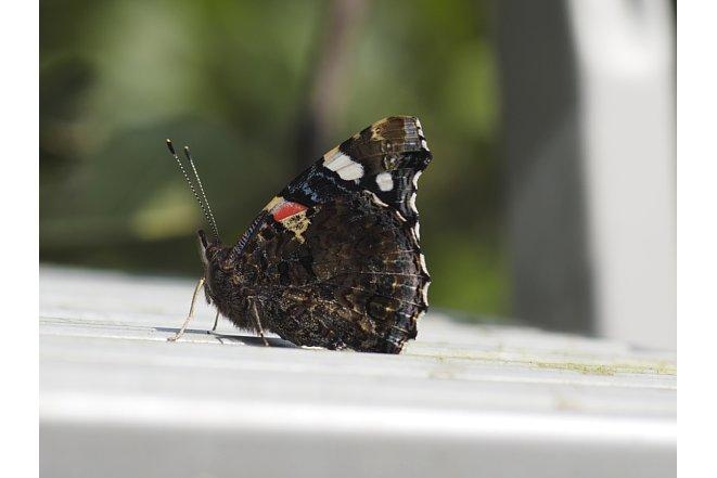 Bild Ein Schmetterling, aufgenommen mit dem Olympus OM 90 mm F2 Makro adaptiert an einer OM-D E-M1. [Foto: Stefan Meißner]